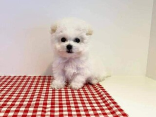 Stunning Maltese puppies for sale