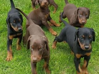 Doberman štene pinčera dostupno