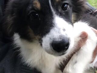 Border collie štene na prodaju