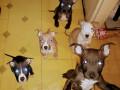 americki-pitbull-terrier-stenci-small-4