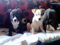 americki-pitbull-terrier-stenci-small-2