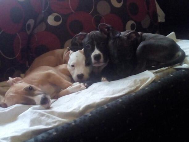 americki-pitbull-terrier-stenci-big-1