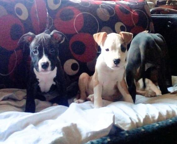 americki-pitbull-terrier-stenci-big-2