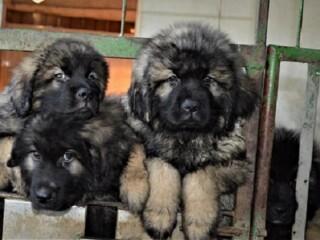 Šarplaninci, štenad i mladi psi