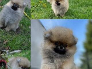 Pomeranac, prelepi, vrhunski štenci
