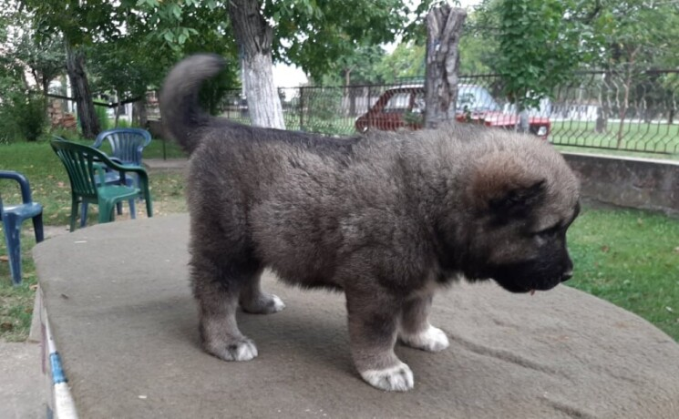 kavkaski-ovcar-stenci-big-0