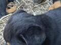 rottweiler-stenci-small-3