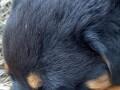 rottweiler-stenci-small-4