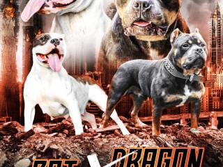 Američki buli štenci