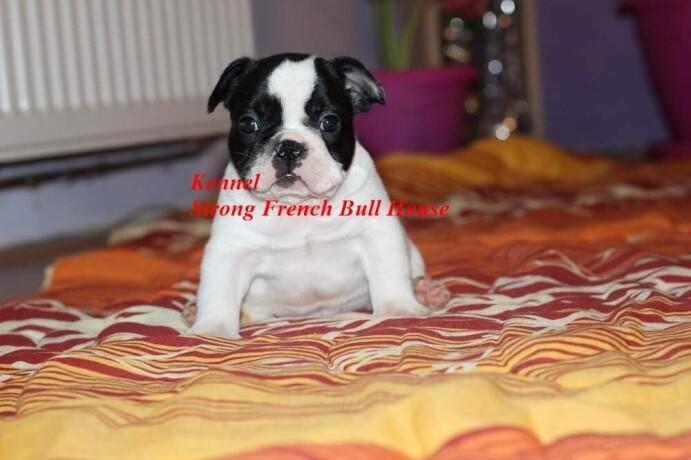 francuski-buldog-big-4