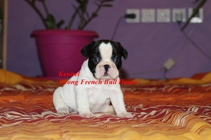 francuski-buldog-big-0