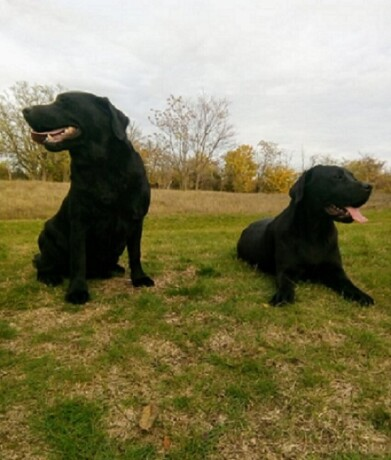 dve-zenke-labradora-big-0