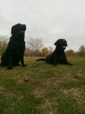 dve-zenke-labradora-big-1