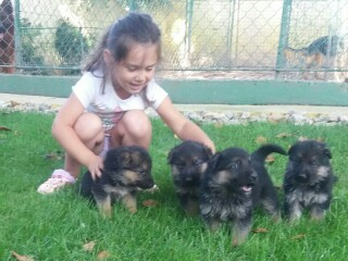 Nemački ovčar štenci