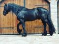 prodaja-frizijskih-konja-small-2