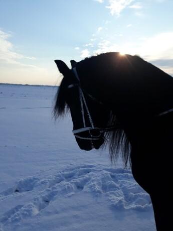 prodaja-frizijskih-konja-big-4