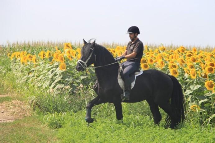 prodaja-frizijskih-konja-big-0