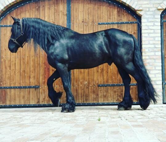 prodaja-frizijskih-konja-big-2