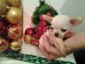 mini-civave-princess-chihuahua-kennel-small-2