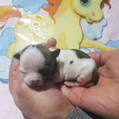 mini-civave-princess-chihuahua-kennel-big-0