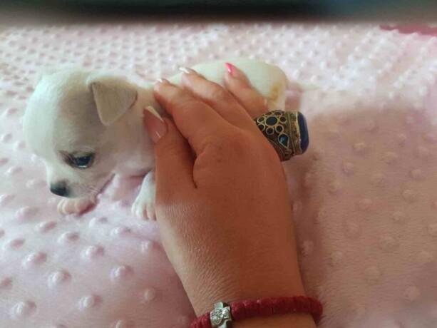mini-civave-princess-chihuahua-kennel-big-4