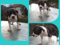 pitbull-stenci-small-1