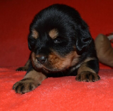 tibetski-mastif-vrhunski-zdravi-stenci-na-prodaju-big-1