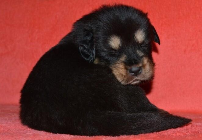 tibetski-mastif-vrhunski-zdravi-stenci-na-prodaju-big-4