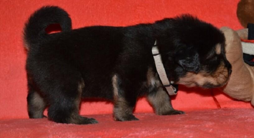 tibetski-mastif-vrhunski-zdravi-stenci-na-prodaju-big-3